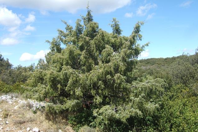 Juniperus oxycedrus - cade Dscf2646