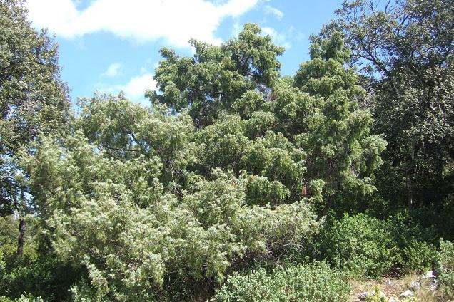 Juniperus oxycedrus - cade Dscf2647