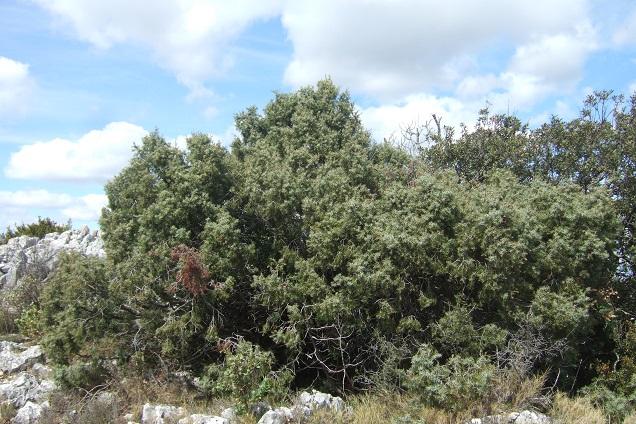Juniperus oxycedrus - cade Dscf2648
