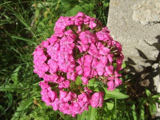 Dianthus barbatus - œillet des poètes  Dscf2662