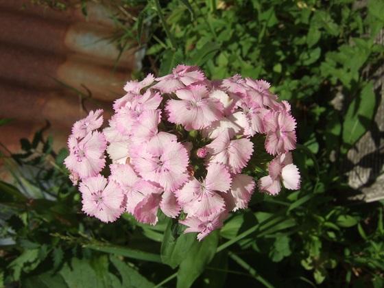 Dianthus barbatus - œillet des poètes  Dscf2663