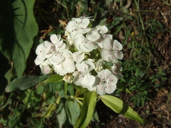 Dianthus barbatus - œillet des poètes  Dscf2664