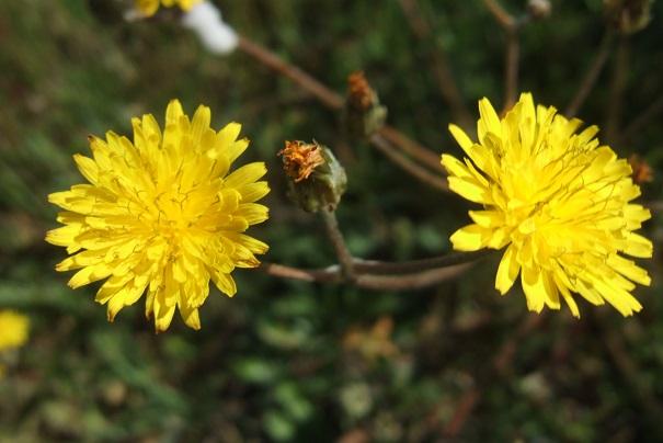 Crepis vesicaria ssp taraxacifolia - crépis à feuilles de pissenlit Dscf2718