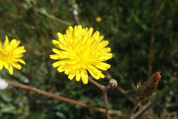 Crepis vesicaria ssp taraxacifolia - crépis à feuilles de pissenlit Dscf2719