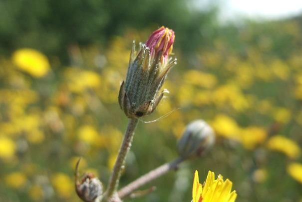 Crepis vesicaria ssp taraxacifolia - crépis à feuilles de pissenlit Dscf2720