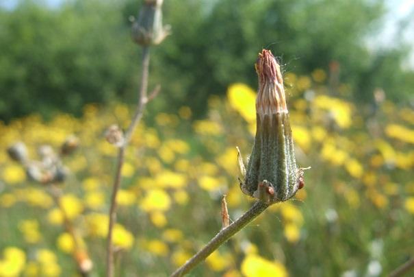 Crepis vesicaria ssp taraxacifolia - crépis à feuilles de pissenlit Dscf2721