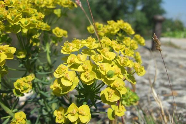 Euphorbia cyparissias - euphorbe petit cyprès Dscf2723