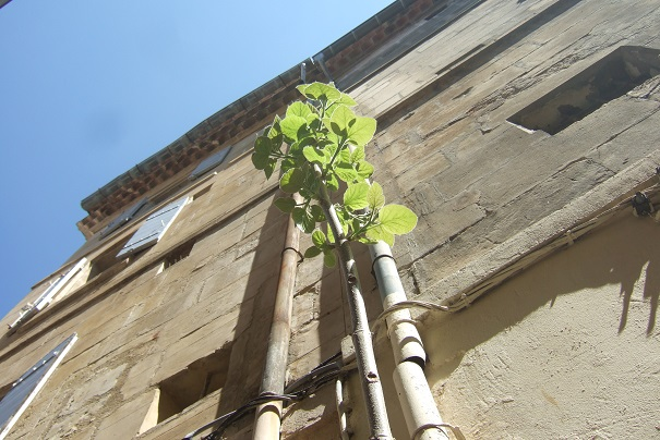 Paulownia tomentosa (= P. imperialis) Dscf2729