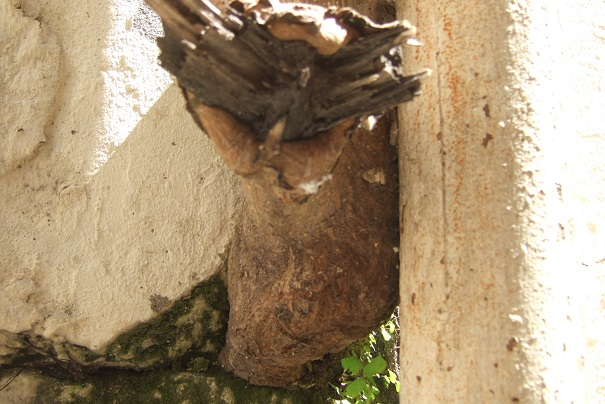 Paulownia tomentosa (= P. imperialis) Dscf2730