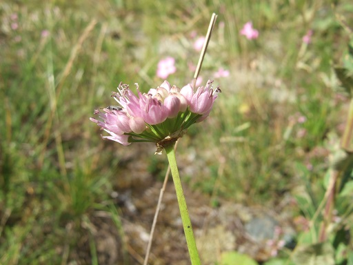 Allium lusitanicum - ail des collines, ail trompeur Dscf2739