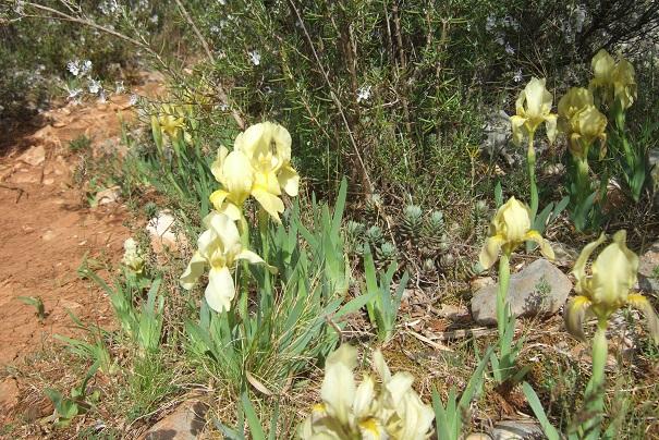 Iris lutescens - iris des garrigues, iris jaunâtre - Page 2 Dscf2814