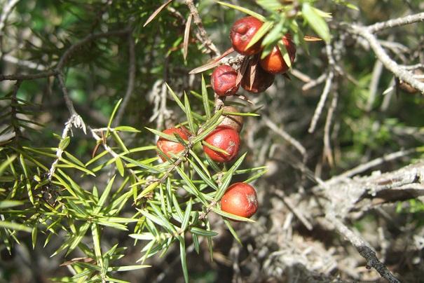 Juniperus oxycedrus - cade Dscf2818