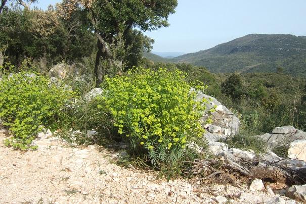 Euphorbia segetalis subsp. segetalis Dscf2820