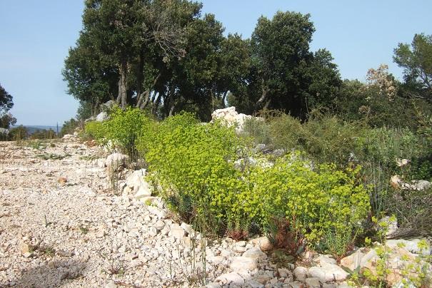 Euphorbia segetalis subsp. segetalis Dscf2821