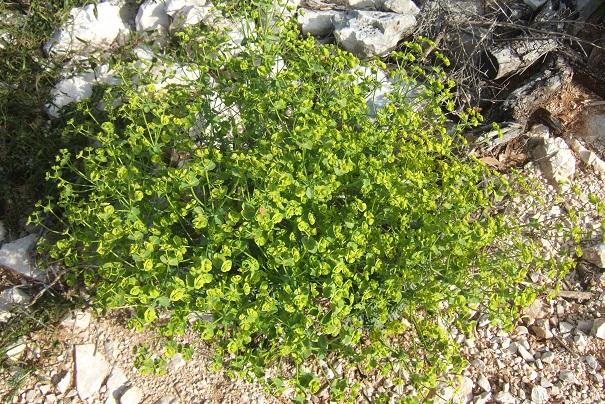 Euphorbia segetalis subsp. segetalis Dscf2822