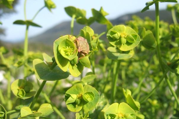 Euphorbia segetalis subsp. segetalis Dscf2823