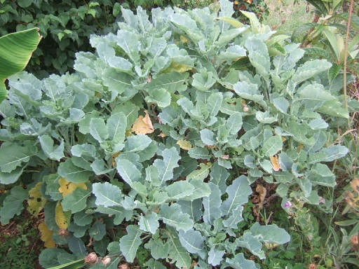 Brassica oleracea var. ramosa - choux Daubenton Dscf2829