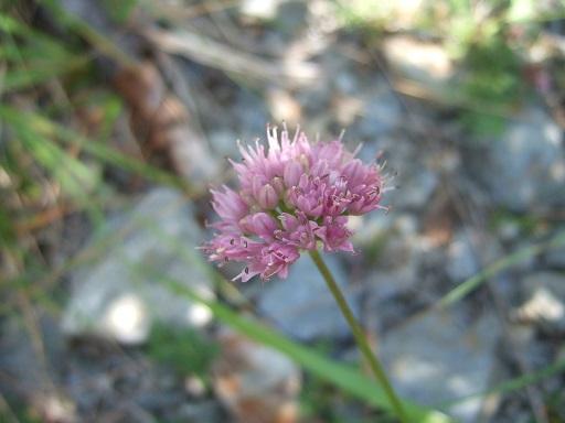 Allium lusitanicum - ail des collines, ail trompeur Dscf2830
