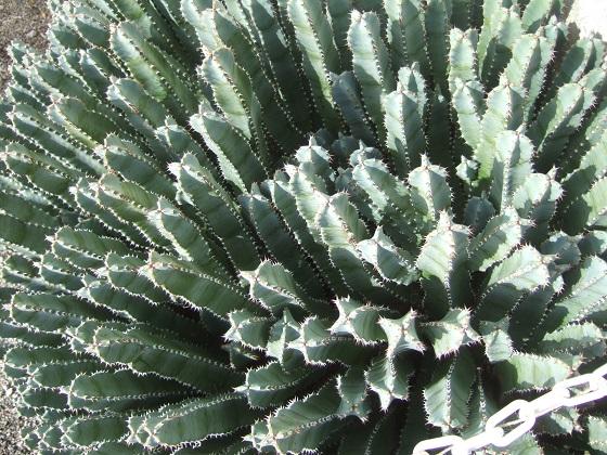 Euphorbia resinifera - Page 4 Dscf2836
