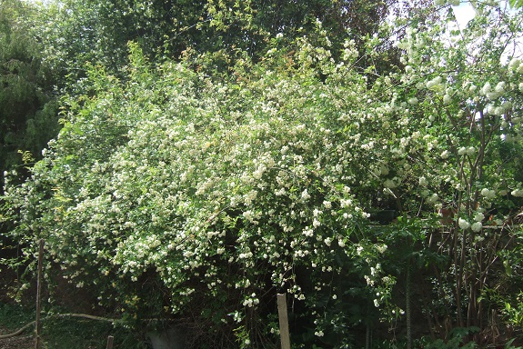 Rosa banksiae 'Albo Plena' Dscf2924