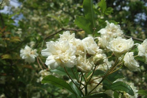 Rosa banksiae 'Albo Plena' Dscf2925