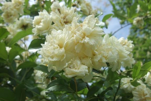 Rosa banksiae 'Albo Plena' Dscf2927