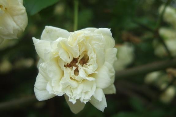Rosa banksiae 'Albo Plena' Dscf2928