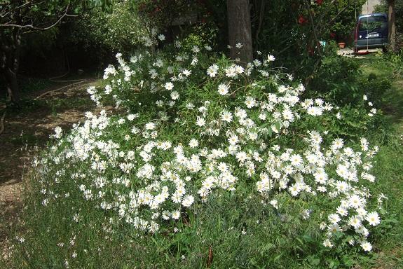 Argyranthemum pinnatifidum  Dscf2936