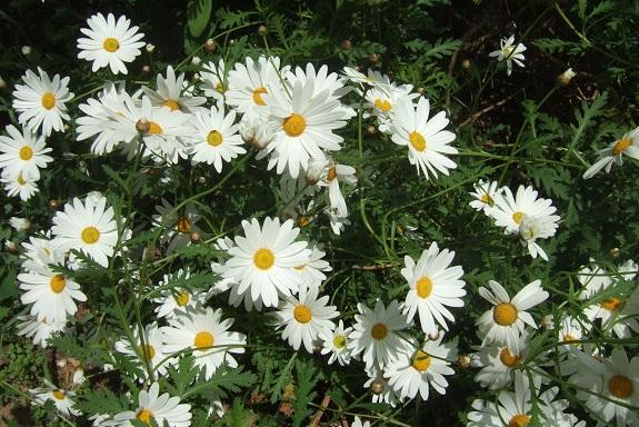 Argyranthemum pinnatifidum  Dscf2938