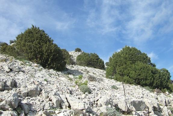 Juniperus phoenicea - genévrier de Phénicie Dscf2939