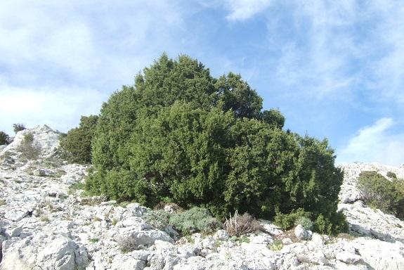 Juniperus phoenicea - genévrier de Phénicie Dscf2940