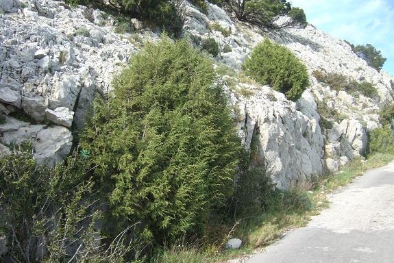 Juniperus phoenicea - genévrier de Phénicie Dscf2941