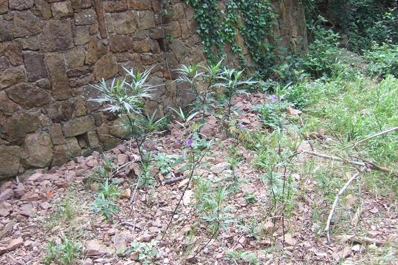 Solanum laciniatum, Solanum aviculare, Ruellia - confusions - Page 2 Dscf3026