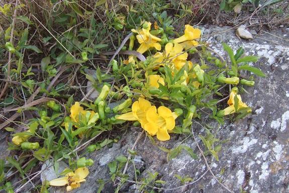 Macfadyena unguis-cati Dscf3027