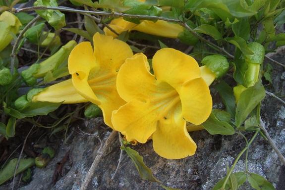 Macfadyena unguis-cati Dscf3028