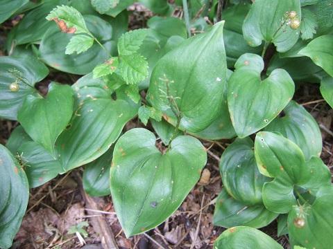 Maianthemum bifolium - maïanthemum à deux feuilles  Dscf3032