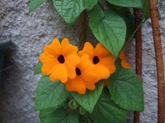 Thunbergia alata - Suzanne aux yeux noirs Dscf3045