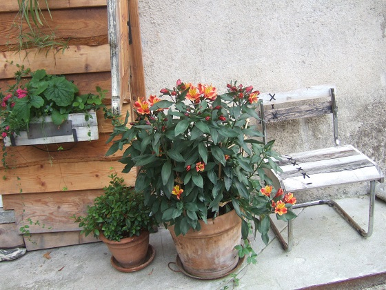 Alstroemeria ' Indian Summer' Dscf3046