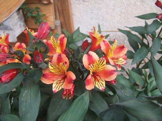 Alstroemeria ' Indian Summer' Dscf3047