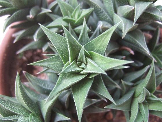 Haworthia viscosa (= Haworthia tortuosa) Dscf3057