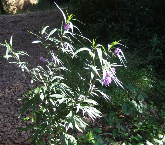 Solanum laciniatum, Solanum aviculare, Ruellia - confusions - Page 2 Dscf3114