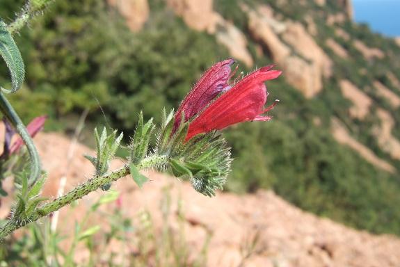 Echium creticum - vipérine de Crète Dscf3120