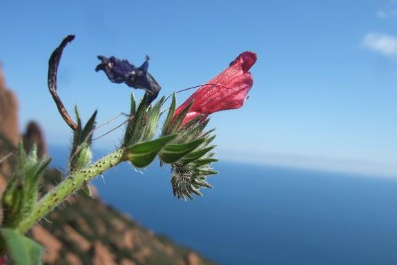 Echium creticum - vipérine de Crète Dscf3123