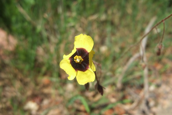 Tuberaria guttata - hélianthème à gouttes Dscf3124
