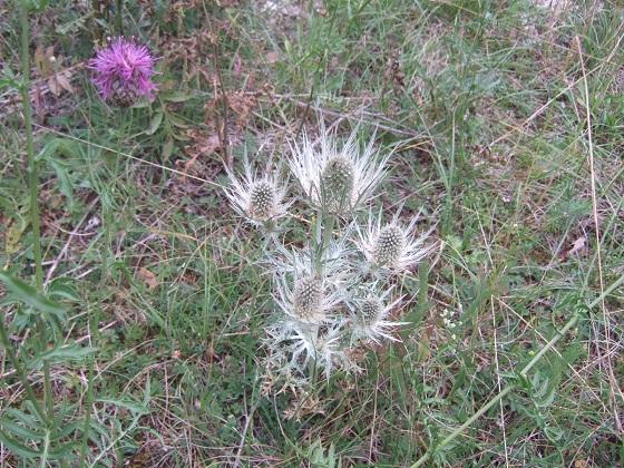 Eryngium spinalba - panicaut blanc des Alpes Dscf3136