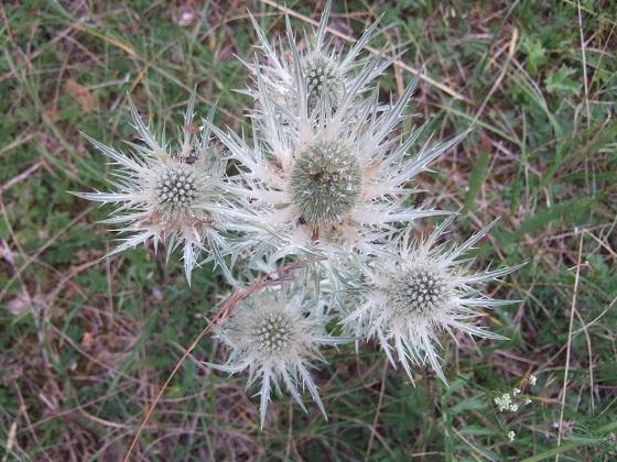 Eryngium spinalba - panicaut blanc des Alpes Dscf3137
