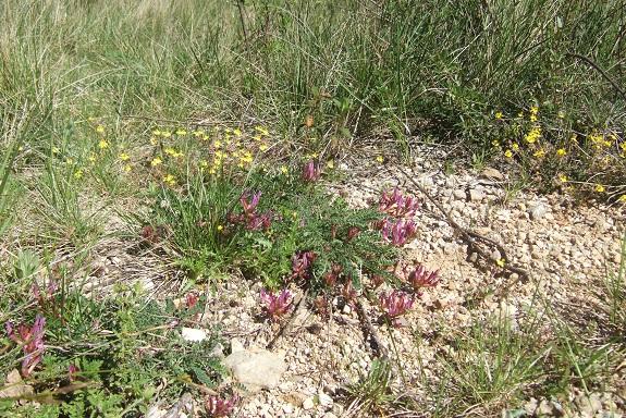 Astragalus monspessulanus - astragale de Montpellier Dscf3223