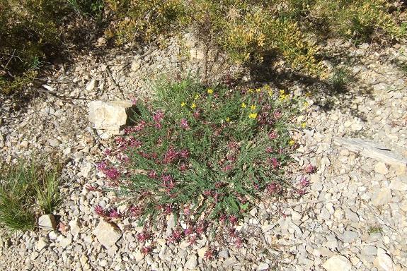 Astragalus monspessulanus - astragale de Montpellier Dscf3224
