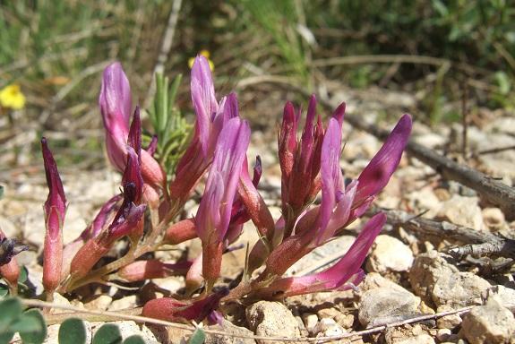 Astragalus monspessulanus - astragale de Montpellier Dscf3226