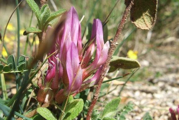Astragalus monspessulanus - astragale de Montpellier Dscf3227